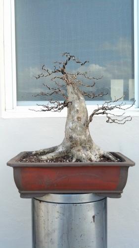 Bonsai Eugenia morada - junny