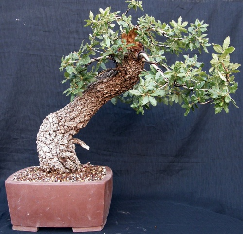 Bonsai Roble - Bonsais Robados
