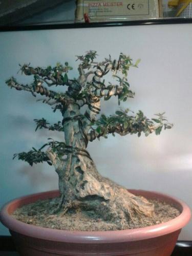 Bonsai Acebuche - Bonsais Robados