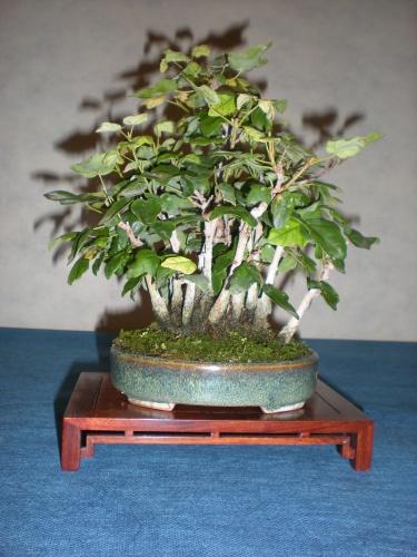 Bonsai 12234 - SAKKA KYOOKAI