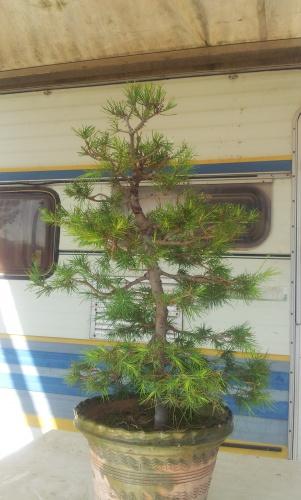 Bonsai pino halepensis - javel