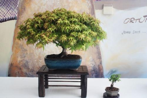 Bonsai Arce Japones KIYOHIME - Bonsai - torrevejense