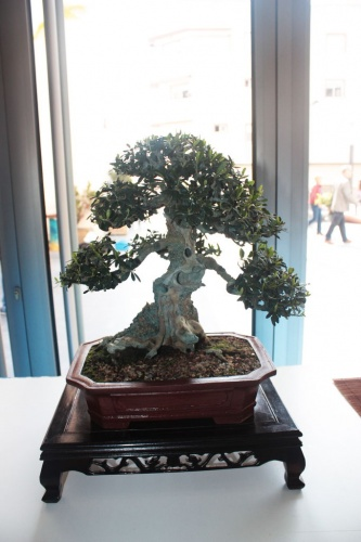 Bonsai 12454 - torrevejense
