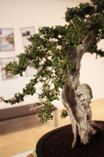 Bonsai Ramaje de Acebuche Bonsai - torrevejense