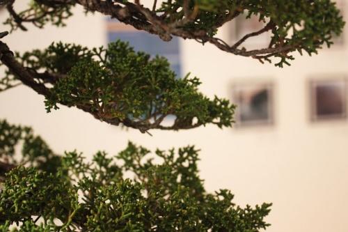 Bonsai Ramas de junipero - Detalles - torrevejense