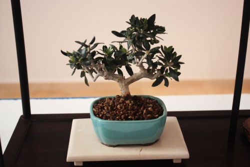 Bonsai Sohin - Olea Europaea - torrevejense