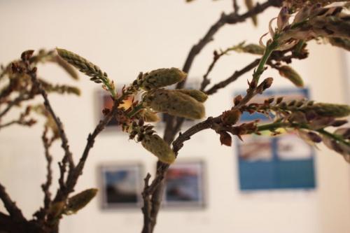 Bonsai Asi es la flor de una Wisteria o Visteria China - torrevejense