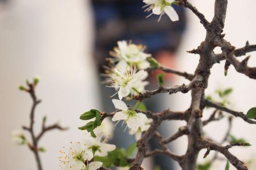 Bonsai Flor del Endrino - torrevejense