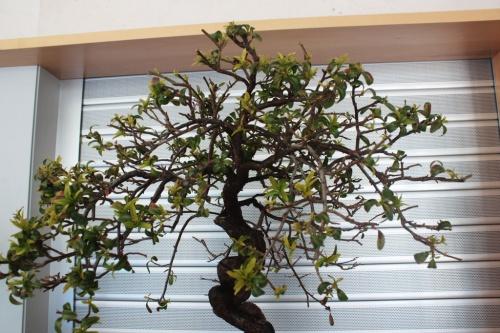 Bonsai Piracanta Bonsai - Vista de la copa en detalle - torrevejense