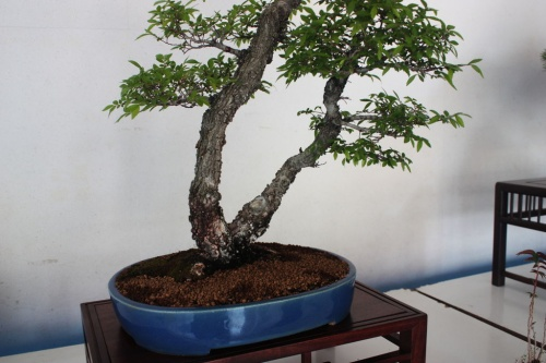 Bonsai Olmo Chino Bonsai - Doble tronco y maceta azul - torrevejense