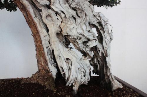 Bonsai Acebuche Bonsai - Esculpido del tronco en detalle - torrevejense