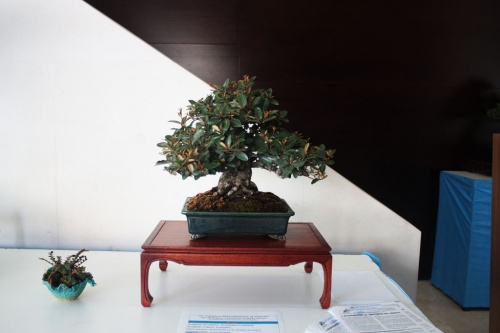 Bonsai Eleagno Bonsai - torrevejense