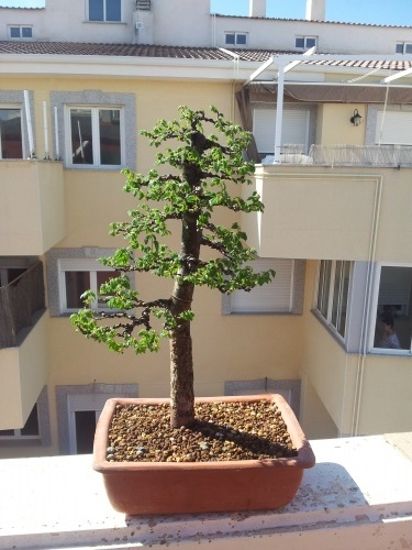 Bonsai 12678 - henrysm