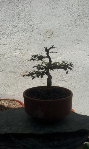 Bonsai olmo regalo de Henry julio 2014 - SARRUT