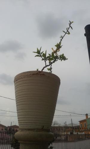 Bonsai forshytia esqueje - SARRUT