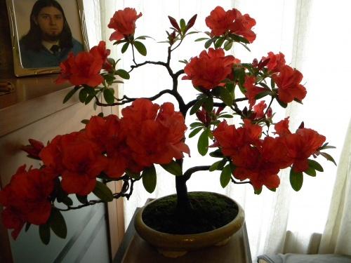 Bonsai Azalea - Mera