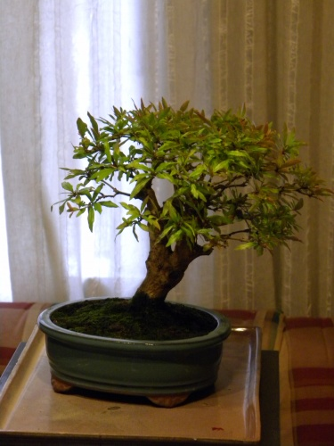 Bonsai Granado - Mera