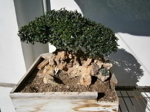 Bonsai 13050 - vicente solbes
