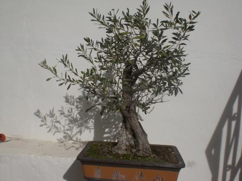 Bonsai 13058 - vicente solbes