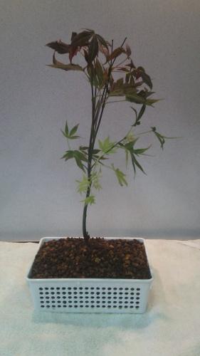 Bonsai Arce Palmatum - jaudetb