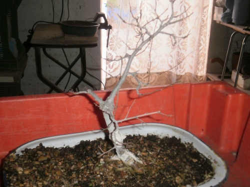 Bonsai 13230 - SARRUT