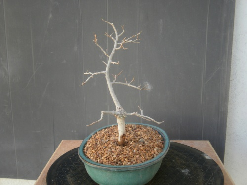Bonsai 13234 - SARRUT