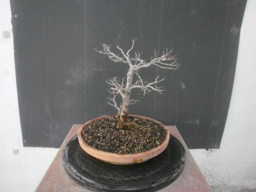 Bonsai 13262 - SARRUT
