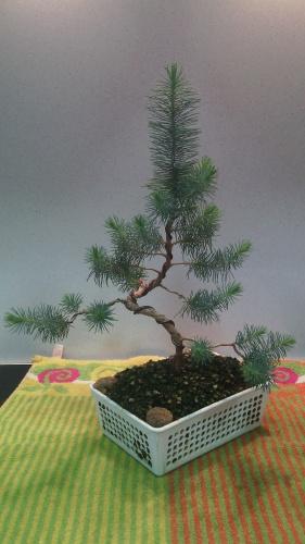 Bonsai Abonado pino - jaudetb