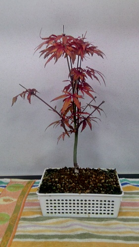 Bonsai Actualización otoño Arce Palmatum - jaudetb