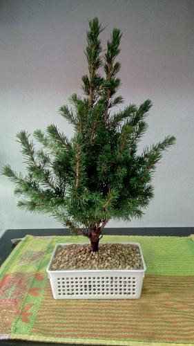Bonsai Trasplante Picea Glauca - jaudetb