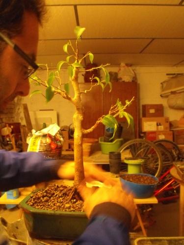 Bonsai Ficus Benjamina trasplante 2016 - SARRUT
