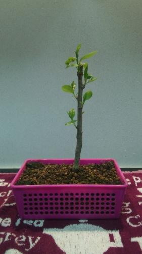 Bonsai Brotación Manzano - jaudetb