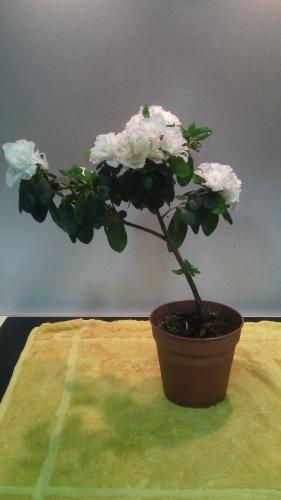 Bonsai Trasplante Azalea - jaudetb
