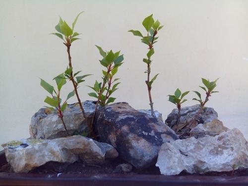 Bonsai Bosque de chopo negro (populus nigra) - Fernando ballester martinez