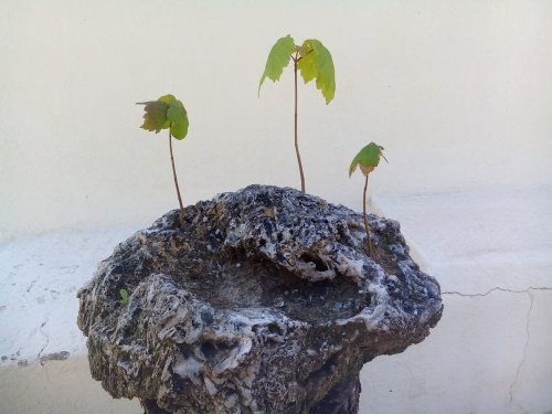 Bonsai Arces sicomoros germinados de semillas 4 años - Fernando ballester martinez