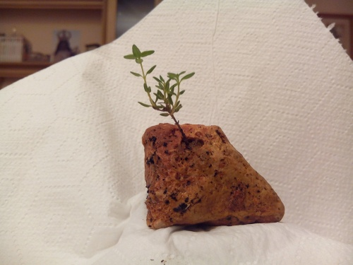 Bonsai frontal, tomillo.( thymus vulgaris ) - Fernando ballester martinez