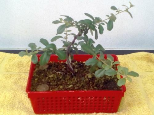 Bonsai Abonado Joy Agris - jaudetb