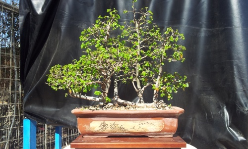 Bonsai olmo chino estilo  balsa - javel
