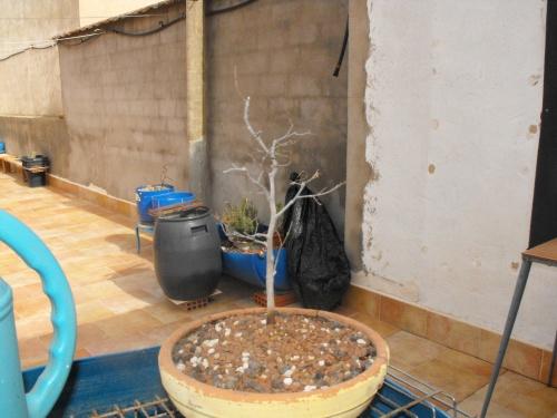 Bonsai semilla del 2012lantado febrero 2017 - SARRUT