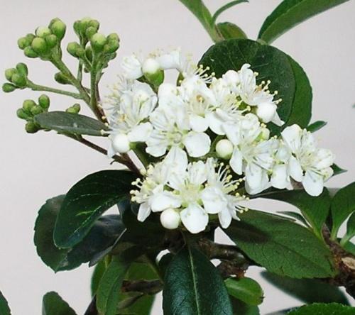 Piracanta en flor