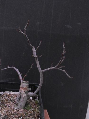 Bonsai Ficus Carica esqueje del 2013 - SARRUT