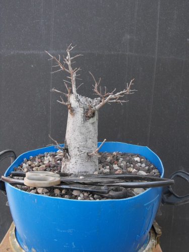 Bonsai 13606 - SARRUT