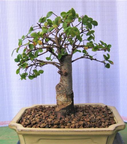 Bonsai 13646 - albert larrosa