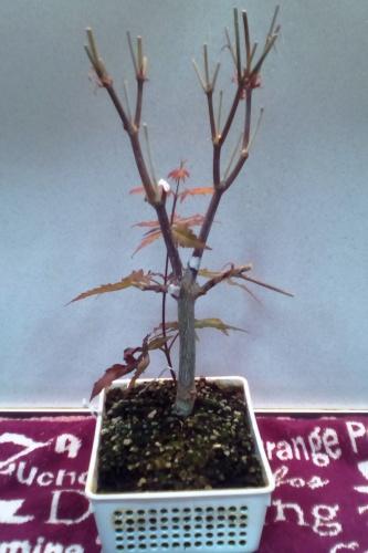 Actualización de arce palmatum