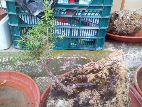 Bonsai enebro ( juniperus oxycedrus) - Fernando ballester martinez