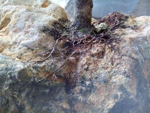 Bonsai Higuera ( detalle raíces superficiales) - Fernando ballester martinez