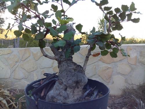 Bonsai Algarrobo ( ceratonia silicua). - Fernando ballester martinez