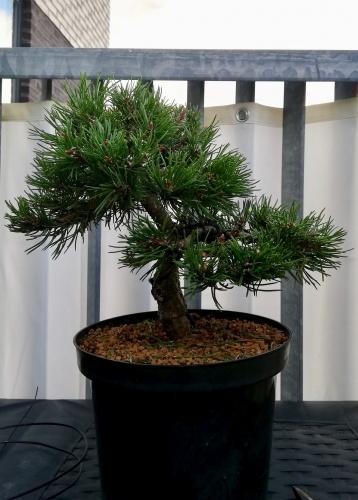 Bonsai Pinus Mugo, 9 años - Jordi Forteza