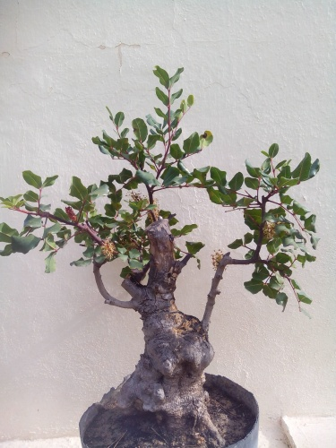 Bonsai 13846 - Fernando ballester martinez