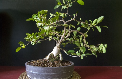 Bonsai Ficus Gingseng - JordiPCBCN